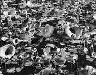 black and white photograph of water lilies