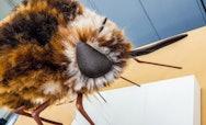 Heath Bee-Fly