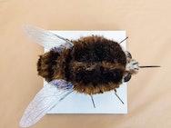 Heath Bee Fly