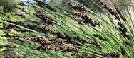 Green Week Reeds Brown Lavender